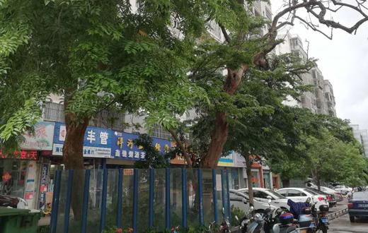 40年树龄!海南黄花梨树20日拍卖 起拍价189.9万元