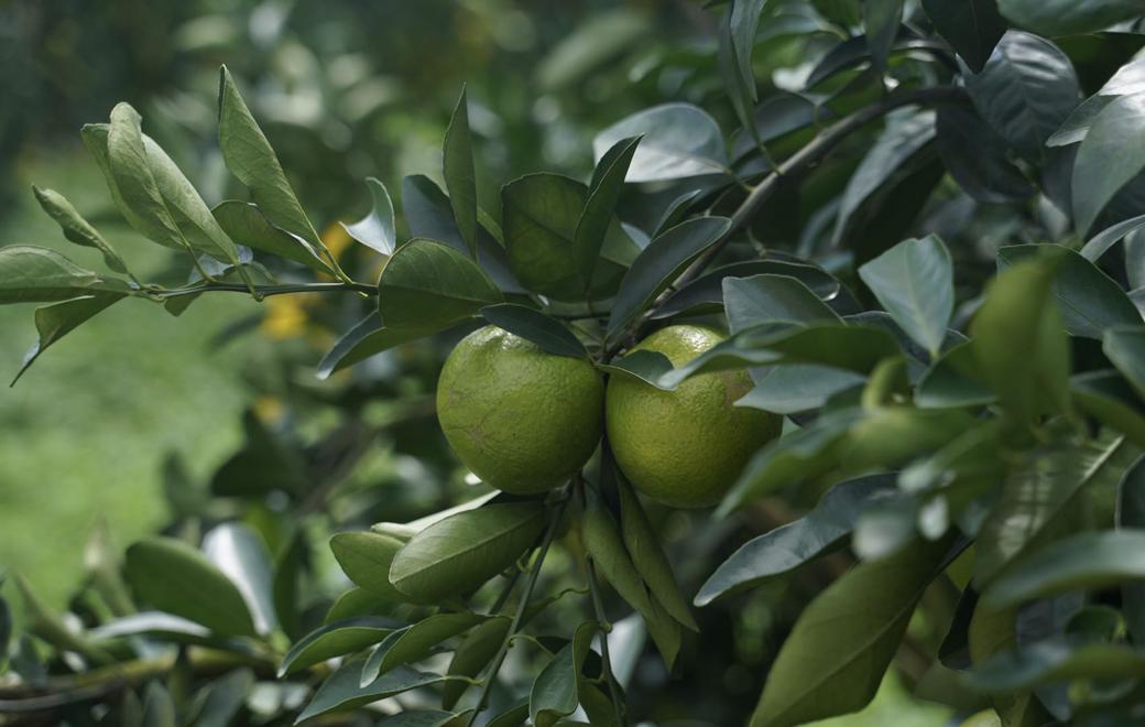 椰视频阂黄鸸蹋垦乌石农场公司我好想:从田间到餐桌 一枚琼中绿橙的品牌进化之路